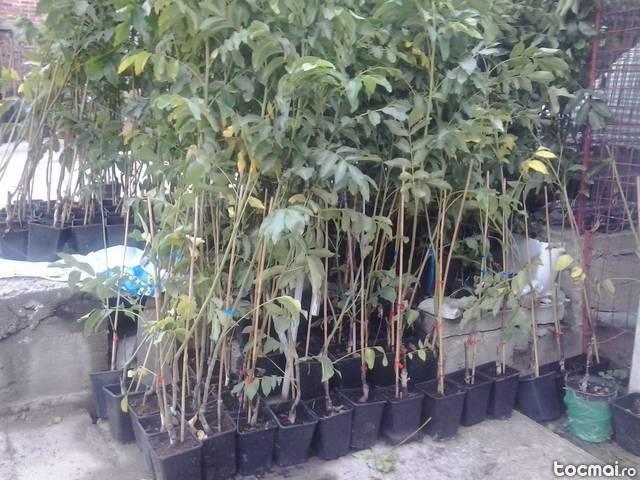 Nuci chendler, altoiti plantarea inclusa in ro