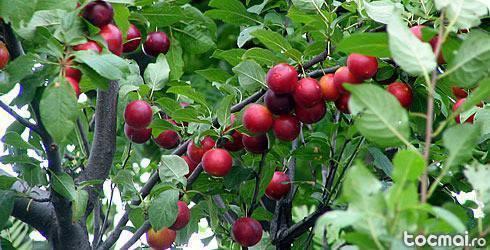 butasi vita de vie altoita pomi fructiferi