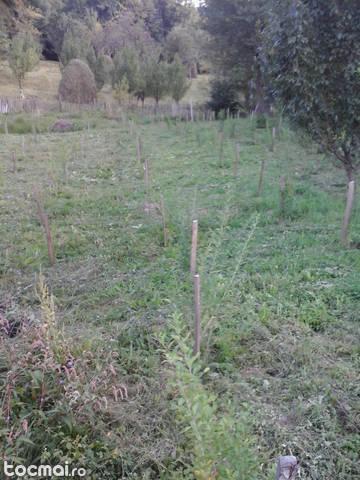 plante gojii